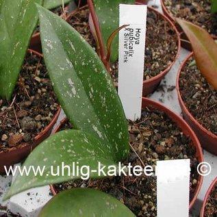 Hoya pubicalyx X Silver Pink