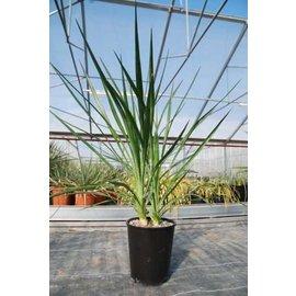Yucca aloifolia   nur in milden Gebieten dw, bis -15 °C    (dw)