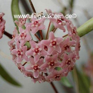 Hoya shepherdii cv. Mini Belle