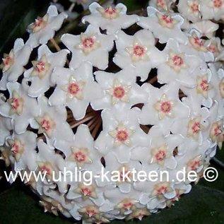 Hoya fungii