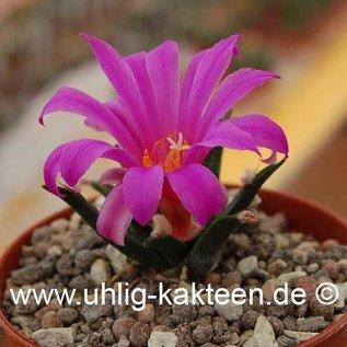 Ariocarpus agavioides      CITES not outside EU  (Seeds)