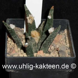 Ariocarpus agavioides      CITES not outside EU  (Samen)