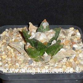 Ariocarpus bravoanus      CITES  (Graines)