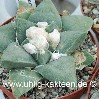 Ariocarpus furfuraceus        (Seeds)