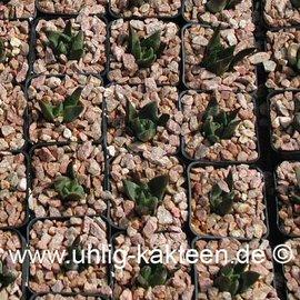 Ariocarpus trigonus      CITES not outside EU  (Samen)
