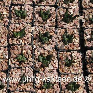 Ariocarpus trigonus      CITES  (Samen)