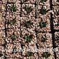 Ariocarpus trigonus      CITES  (Seeds)