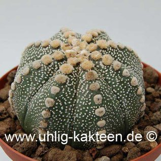 Astrophytum asterias    (Samen)  (CITES)