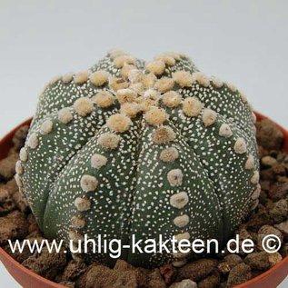 Astrophytum asterias  # (Seeds)