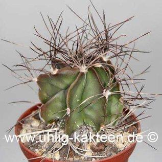 Astrophytum capricorne fa. Saltillo  (Semillas)