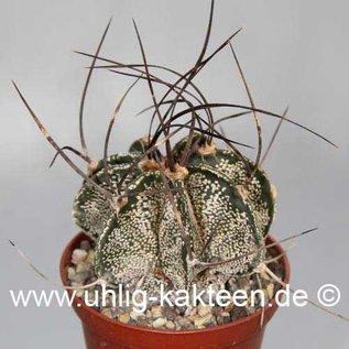 Astrophytum capricorne fa. Saltillo  (Seeds)