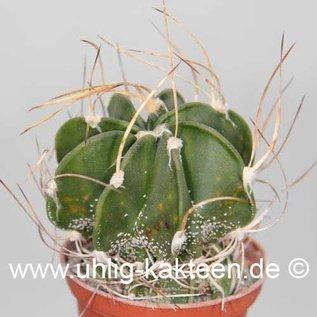 Astrophytum capricorne v. crassispinum  (Seeds)