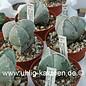 Astrophytum myriostigma tricostata  (Samen)