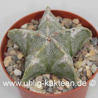 Astrophytum myriostigma v. strongylogonum  (Semillas)