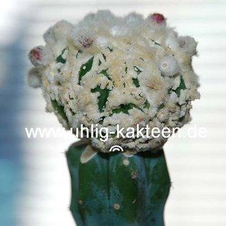 Astrophytum ornatum cv. Fukuryu  (Seeds)