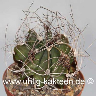 Astrophytum senile        (Samen)