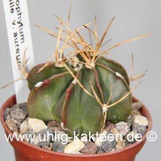 Astrophytum senile v. aureum  (Seeds)