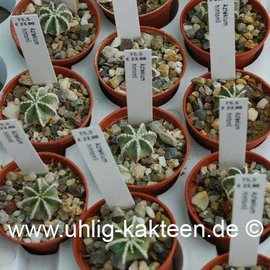 Aztekium hintonii        (Seeds)