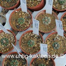 Aztekium ritteri      CITES  (Graines)