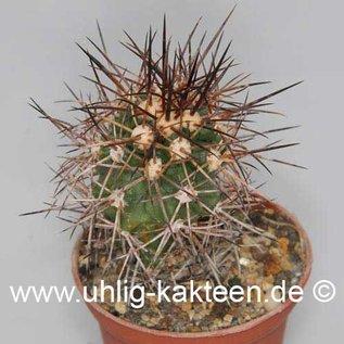Copiapoa pseudocoquimbana        (Seeds)