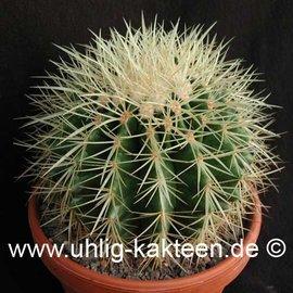 Echinocactus grusonii   10     (Samen)