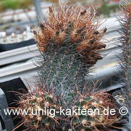 Echinocereus ferreirianus  v.lindsayi    CITES not outside EU  (Samen)
