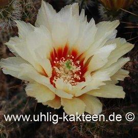 Echinocereus papillosus        (Samen)