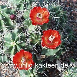 Echinocereus triglochidiatus        (Graines)
