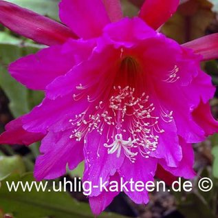 Epiphyllum Hybr.  X Jolly Rogers      (Samen)