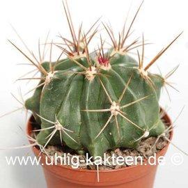 Ferocactus echidne  v. rhodanthus De Herdt     (Seeds)