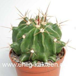 Ferocactus echidne  v. rafaelensis      (Seeds)