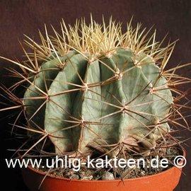 Ferocactus glaucescens        (Seeds)