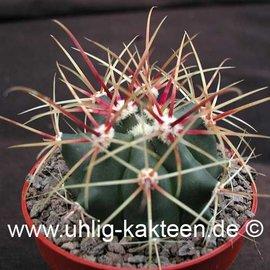 Ferocactus gracilis aff.   Laguna Secca Chapala, BC     (Seeds)