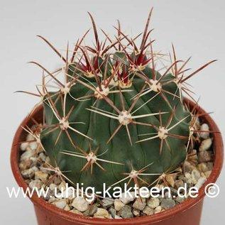 Ferocactus townsendianus  X santa-maria townsendianus 20 km südl. La Paz, Reppenhagen     (Samen)