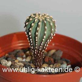 Geohintonia mexicana        (Graines)