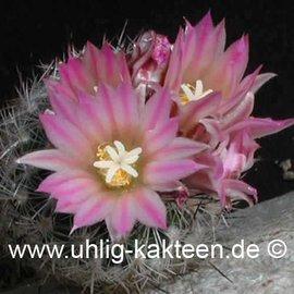 Gymnocactus subterraneus  v. zarragossae    CITES not outside EU  (Samen)