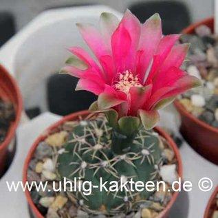 Gymnocalycium baldianum  P 127 (Samen)