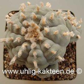 Lophophora williamsii        (Graines)