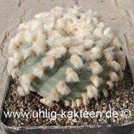 Lophophora williamsii  fa. texana      (Graines)