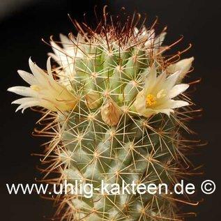 Mammillaria armillata   (Samen)
