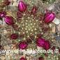 Mammillaria crinita cv. Rubriflora  (Samen)