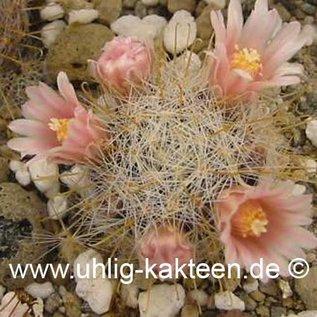 Mammillaria hutchisoniana   (Samen)