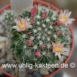 Mammillaria oteroi        (Samen)