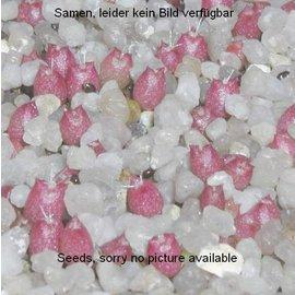 Mammillaria schumannii  v. globosa Typstandort     (Seeds)