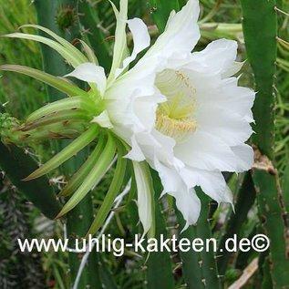 Mediocactus hassleri        (Samen)