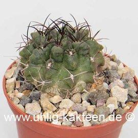 Neoporteria papaso n.i.        (Samen)