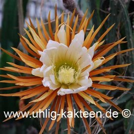 Selenicereus grandiflorus        (Seeds)