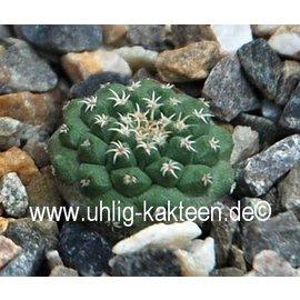 Strombocactus pulcherrimus   Xicho   CITES not outside EU  (Samen)