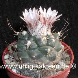 Turbinicarpus laui  v. El Tepozan   CITES  (Seeds)