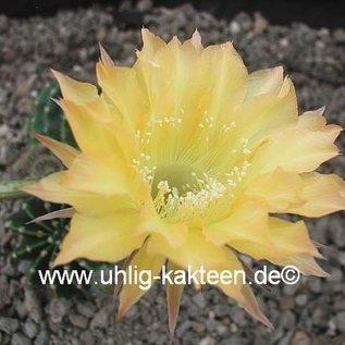 Echinopsis-Hybr. Citrus